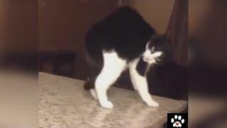Кошки приколы Лада Седан. Смешные кошки 3. Cats funny 3