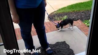 Luigi & Yoshi Pt 2: Aggressive Chihuahuas Road To Recovery! Charleston Greenville