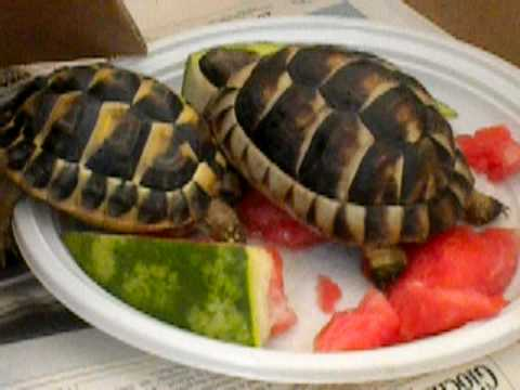 Le mie tartarughe che mangiano l 39 anguria youtube for I gatti mangiano le tartarughe