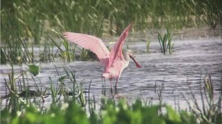 Video Minnesota Records First Sighting Of Roseate Spoonbill download MP3, 3GP, MP4, WEBM, AVI, FLV Oktober 2018