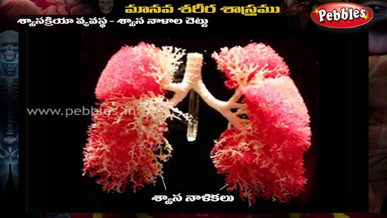 Human body respiratory system telugu youtube ccuart Gallery
