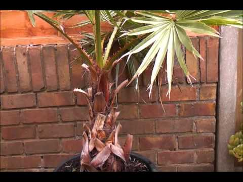 Overwintering Washingtonia palms