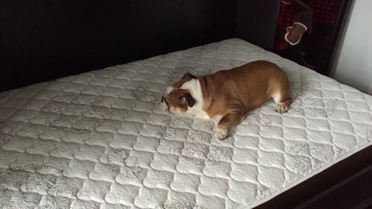 English Bulldog Puppy Enjoying The New Bed Youtube