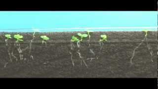 Time Lapse of Tabacco seed germination