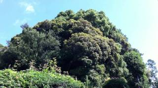 通勤途中に気が付いた木がモッコリしているところに近づいてみると、 桓...
