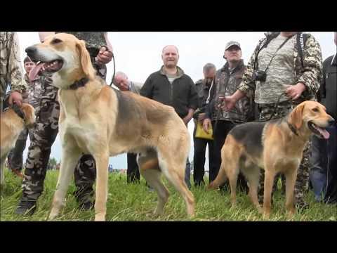 Всероссийская выставка охотничьих собак г. Тула 2017г.