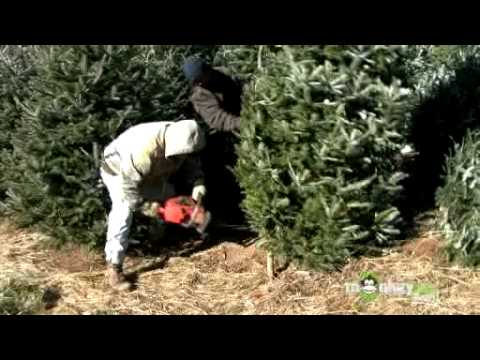 Behind the Scenes of a Christmas Tree Farm