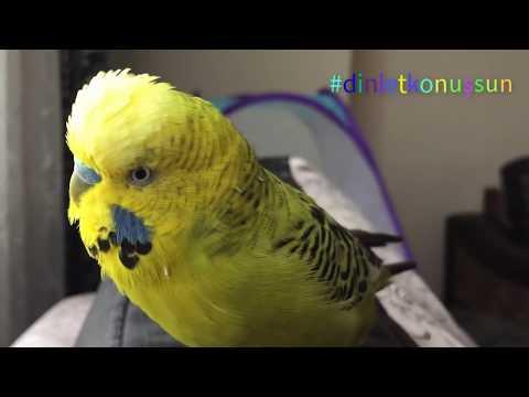 Konuşan Muhabbet Kuşu Fıstık - Küçük kuşum Aşkım Cici kuş öpücük Babacık Fıstık