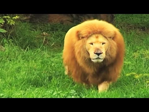 Thumbnail: Zookeeper tosses soccer ball to bored lion in zoo. He stuns everyone with his incredible skills