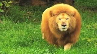 Zookeeper tosses soccer ball to bored lion in zoo. He stuns everyone with his incredible skills thumbnail