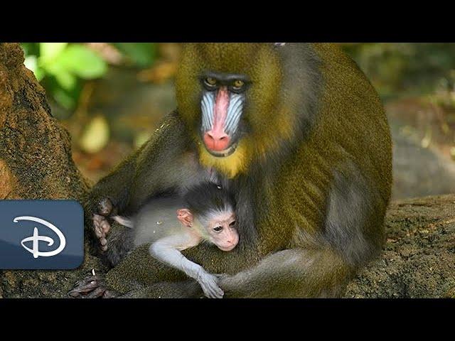 Wildlife Wednesday: Disney's Animal Kingdom Welcomes a Baby Mandrill