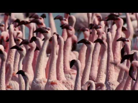 Flamingosis - Flight of The Flamingo