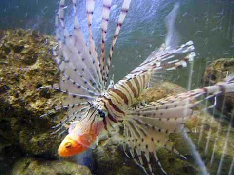 Lion fish eat gold fish and tha rocks youtube for Fish that eat other fish