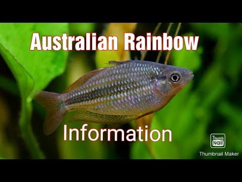 Australian Rainbow Fish Care