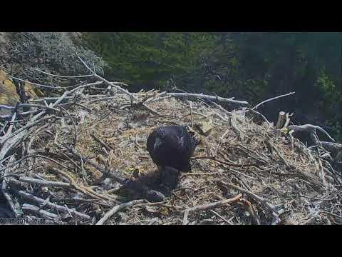 Sauces Bald Eagles - Channel Islands Cam...