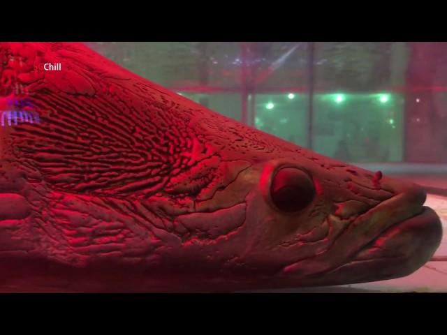 Cặp cá khổng lồ cực đẹp gây tò mò cho hàng ngàn du khách
