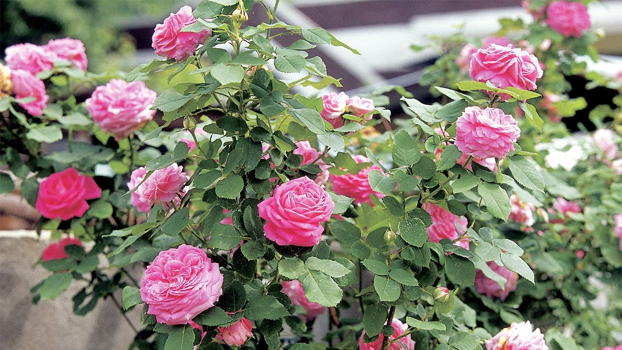 Roses In Garden: Where To Place Rose Garden Urns