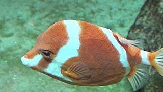 ホワイトバードボックスフィッシュ White-barred boxfish Anoplocapros lenticularis