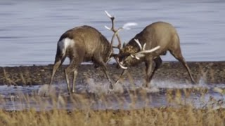 Deer Battle For Dominance  | Wild Japan | BBC