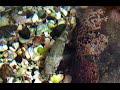 アゴハゼ Forktongue goby Chaenogobius annular