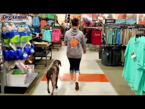 "3 Year Old German Shorthaired Pointer ""Gauge"" Before/After Video 