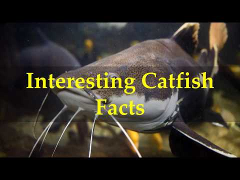 Interesting Catfish Facts