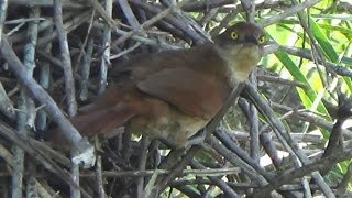 vuclip Greater Thornbird, bird building its nest, Engineering birds,