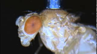 High-magnification inspection of a picked fly
