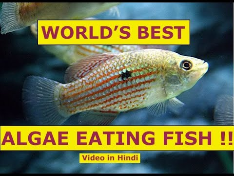 #World's #Best #Algae Eating Fish For Your Aquarium #Top 5 Algae Eaters #Aquarium Algae #Algae Eater