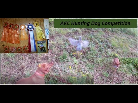 AKC Hunt Test || Pointing/Hunting Dog Competition