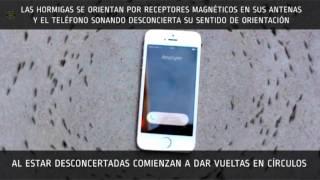 Reacción de precisión militar de hormigas a un teléfono vibrando