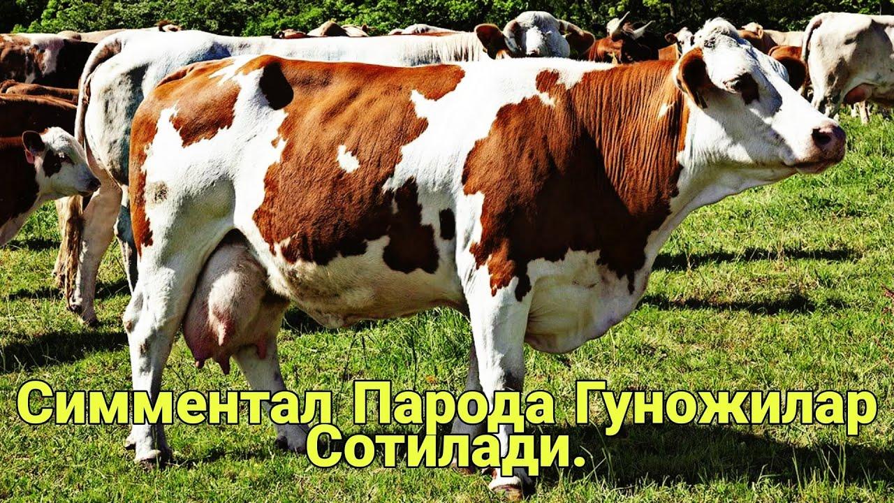 Download Симментал Парода Гуножилар, Бугоз Гуножилар Сотилади.