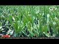 Dragon Plants Selling Products in My Nursery | Apple Ber Nursery | Contect No,08514981670