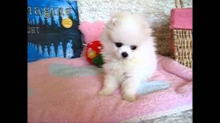 Teacup Size White Pomeranian Winter!