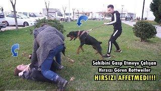 Sahibini Gasp Etmeye Çalışan Hırsızı Gören Rottweiler FECİ SALDIRDI!!!