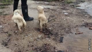 小伙在自家門前,發現兩條流浪狗,這個冬天它們該怎麼過 【石头记事】 thumbnail