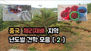 중국 체리농장 견학 [ 2 ] 17년도 중국대련 만생종…