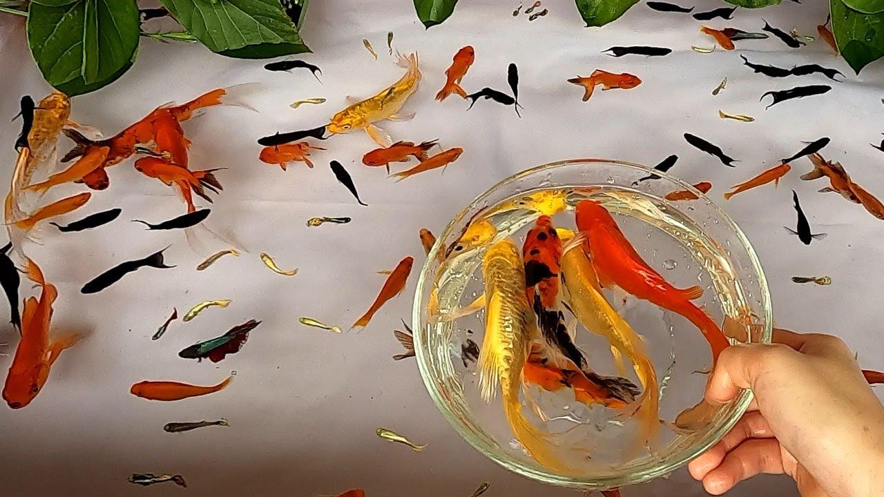 Halfmoon Betta Fish Molly Redtail Catfish Guppy Guppies Carp Carps Goldfish Cute baby animals Videos