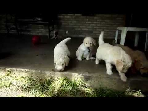 Fluffy Goldendoodle puppies on an outside adventure