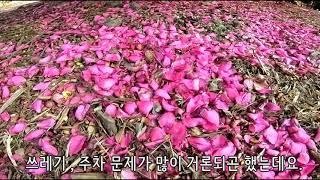 11월 제주도 동백꽃 피는 시기 및 축제 준비 시작