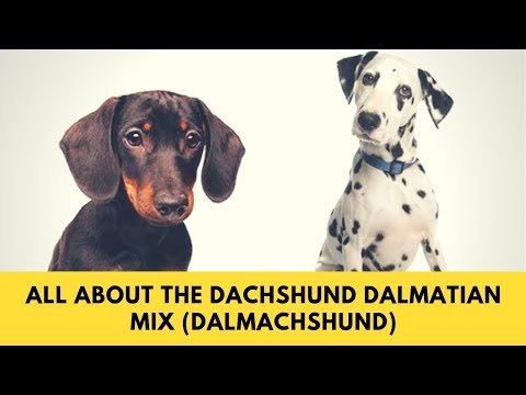 All About The Dachshund Dalmatian Mix (Dalmachshund): Facts & Information