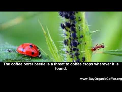 Organic Ways to Fight the Coffee Borer Beetle