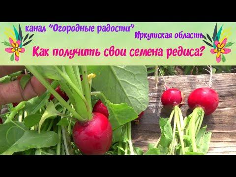 Вопрос: Как собрать семена редиса Детский, стоит ли?