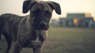 Brindle Boxer-blue Heeler Mix Explores The Park  | The Daily Puppy
