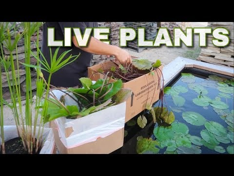 LIVE AQUATIC PLANTS for MINI POND!