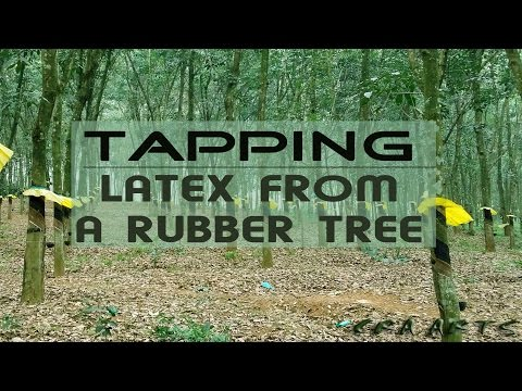 TAPPING |LATEX FROM A RUBBER TREE|