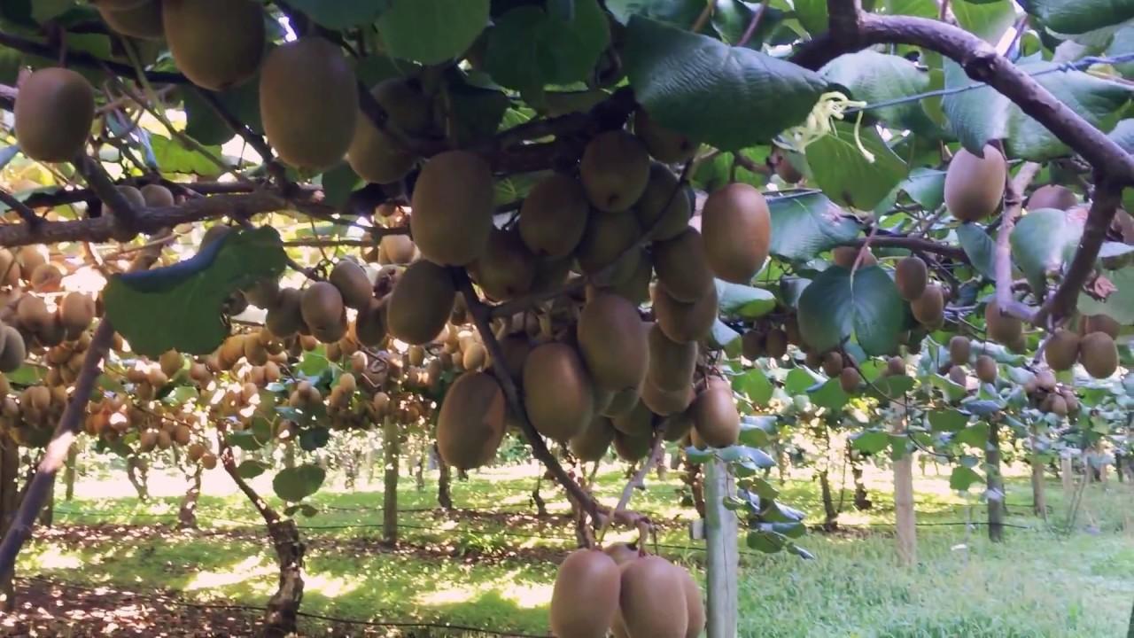 Kiwi tree farm with full of riped kiwi fruits