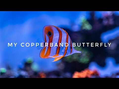 5 Minutes Of Looking At My Copperband Butterfly, Why Not!!! 😁
