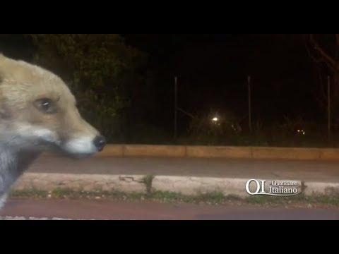 """Bari, la volpe """"Okinawa"""" è tornata da Giuseppe: colonizzato Parco 2 Giugno"""