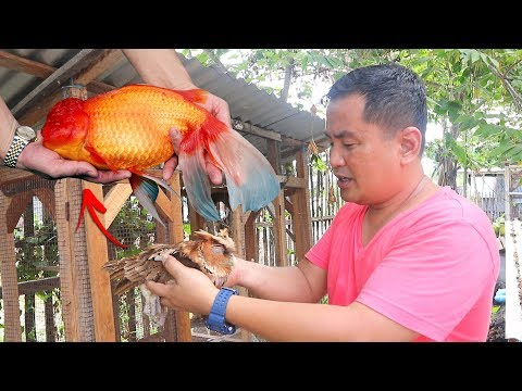 EXOTIC BIRD CAPTURED EATING MY IMPORTED FISH